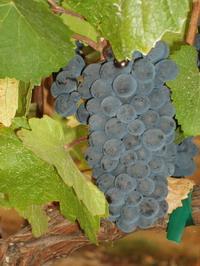 Pinot Noir Grozd