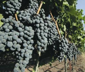 Merlot_vinograd