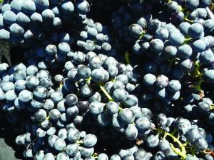 Karinjan grožđe