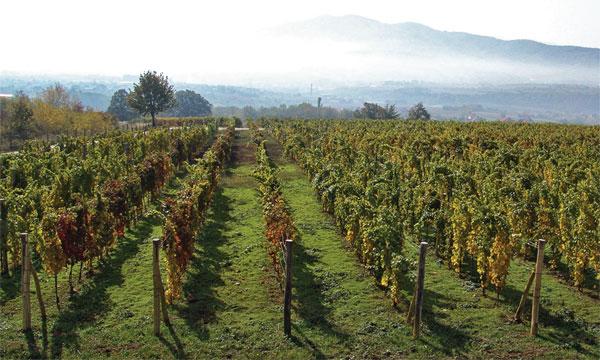 Vinograd klima